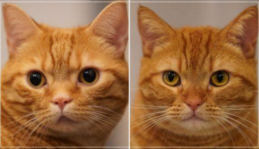 花江夏樹の猫の種類は何?「みそ」と「こんぺい」の見分け方!